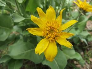 Balsamorhiza - Balsam Root
